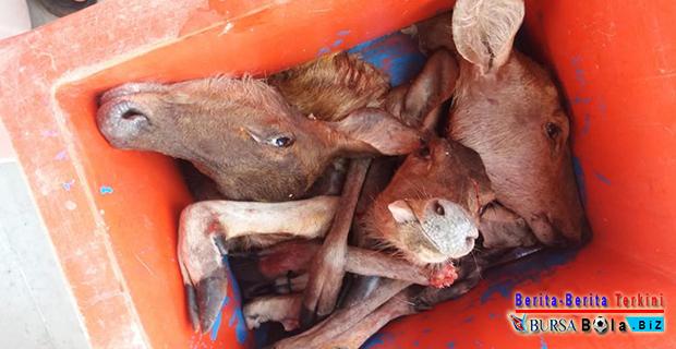 Tiga Ekor Rusa Mati Mengenaskan, Petugas Tangkap 11 Pemburu Liar di Hutan Lindung